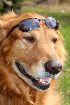 Free Golden Retriever With Shades Royalty Free Stock Photography - 5043607