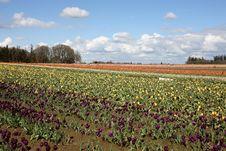 Free Tulip Field Royalty Free Stock Image - 5044006