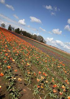 Free Tulip Field Royalty Free Stock Photo - 5044015