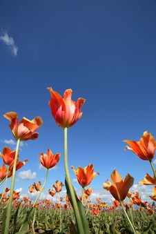 Free Orange Yellow Tulips Stock Photos - 5044043