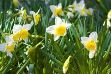 Free Daffodils In The Sun Royalty Free Stock Image - 5044076