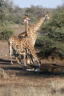 Free Giraffe Family Drinking Stock Photos - 5044713