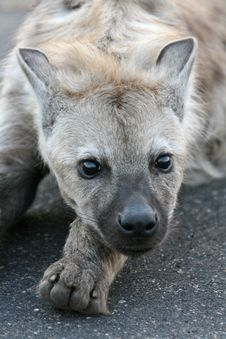 Free Hyena Cub Royalty Free Stock Image - 5044726