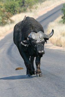 Free Old Buffalo Bull Royalty Free Stock Photo - 5044735
