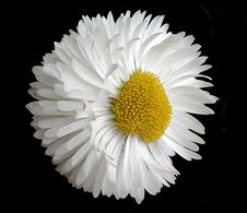 Free Daisy Royalty Free Stock Photography - 5044897
