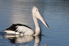 Free Pelican Floating Royalty Free Stock Image - 5045906