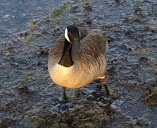 Free Canada Goose Royalty Free Stock Images - 5046749