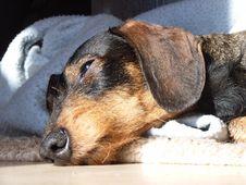 Free Sleepy Dachshund Stock Images - 5047024