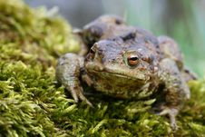 Free Toad In Moss Stock Photos - 5047153