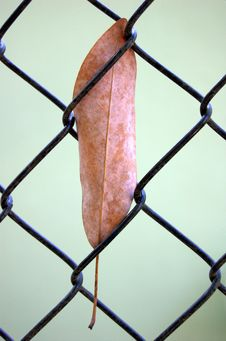 Free Leaf In Fence Royalty Free Stock Photos - 5047168