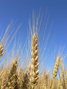 Free Barley Ears Stock Image - 5048501