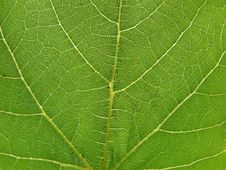 Free Vine Leaf Close-up Royalty Free Stock Photo - 5048665