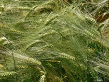 Free Green Barley Ears Stock Image - 5048681