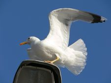 Seagull Trying To Fly Up Royalty Free Stock Image