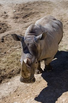 Free Rhinoceros Waiting For The Food Royalty Free Stock Image - 5048906