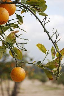 Free Oranges On Bush Stock Photos - 5049323