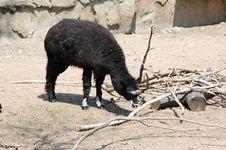 Free Black Goat Stock Photos - 5049863