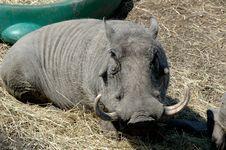 Free Warthog Royalty Free Stock Photos - 5049868