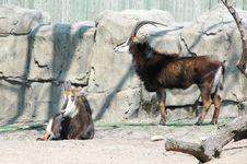 Free Brown Goat Royalty Free Stock Photos - 5049908