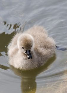 Free Little Swan Stock Photography - 5049922