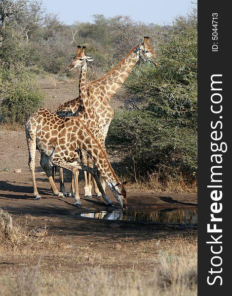 Giraffe Family Drinking