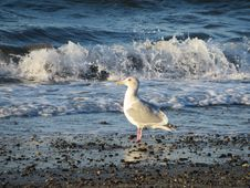 Free Seagull On The Beach Stock Photo - 50447030