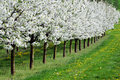 Free Blossoming Cherry-trees Stock Photography - 5053502