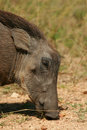 Free Young Warthog Feeding. Stock Images - 5054074