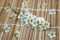 Free Bird Cherry Tree Still Life 1 Stock Image - 5055471