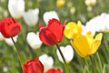 Free Tulips In Town Garden Stock Photo - 5055750