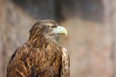 Free Tawny Eagle (Aquila Rapax) Stock Photo - 5050370
