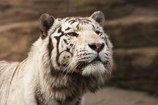 Free White Amur Tiger Royalty Free Stock Image - 5050386