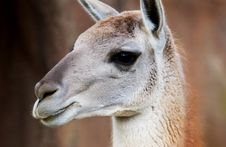 Free Llama Royalty Free Stock Photo - 5050825