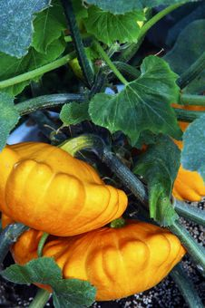 Free Potted Plant Pumpkins Royalty Free Stock Photography - 5050947