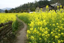 Rural Alley, Yellow Flowers Of Rape Royalty Free Stock Photo