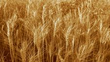 Grain Field; Sepia Stock Photos