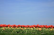 Free Tulips And Blue Sky Royalty Free Stock Image - 5053306