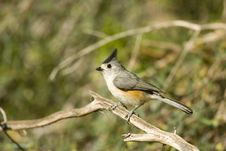 Free Black-crested Titmouse Perched Royalty Free Stock Images - 5054259