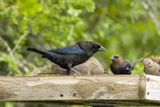 Free Bronzed Cowbird Feeding Stock Photo - 5054350