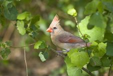 Free Female Northern Cardinal Perched Royalty Free Stock Images - 5054369