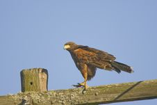 Free Harris S Hawk Perched Stock Images - 5054374