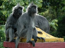 Free Silvered Leaf Monkeys Stock Image - 5054391