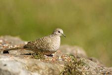Inca Dove Feeding Stock Photography