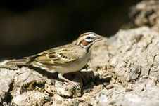 Free Lark Sparrow Perched Royalty Free Stock Photography - 5054447