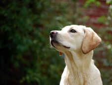 Free Cute Labrador Puppy Royalty Free Stock Images - 5054709