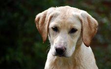 Free Cute Labrador Puppy Royalty Free Stock Photo - 5054825