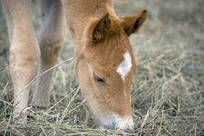 Free Quarterhorse Foal Royalty Free Stock Photo - 5055025