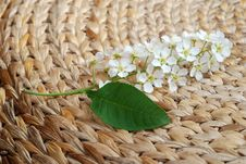 Free Bird Cherry Tree Still Life 4 Royalty Free Stock Photos - 5055478