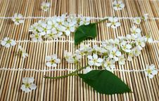 Free Bird Cherry Tree Still Life 3 Royalty Free Stock Images - 5055479
