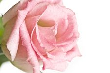 Free Close-up Of Pink Rose Flower Royalty Free Stock Photo - 5055765